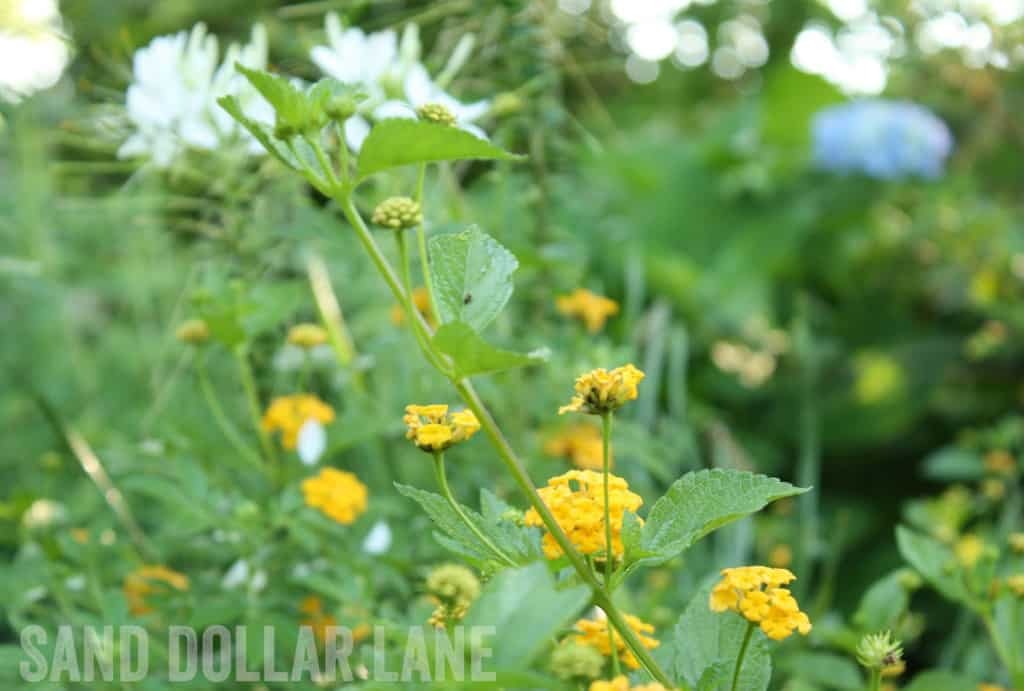 yellow lantana flowers