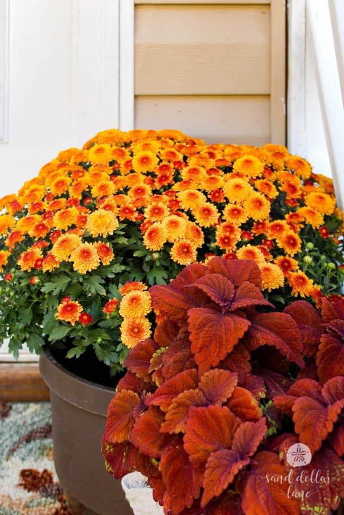 rust colored coleus is perfect for fall decorations