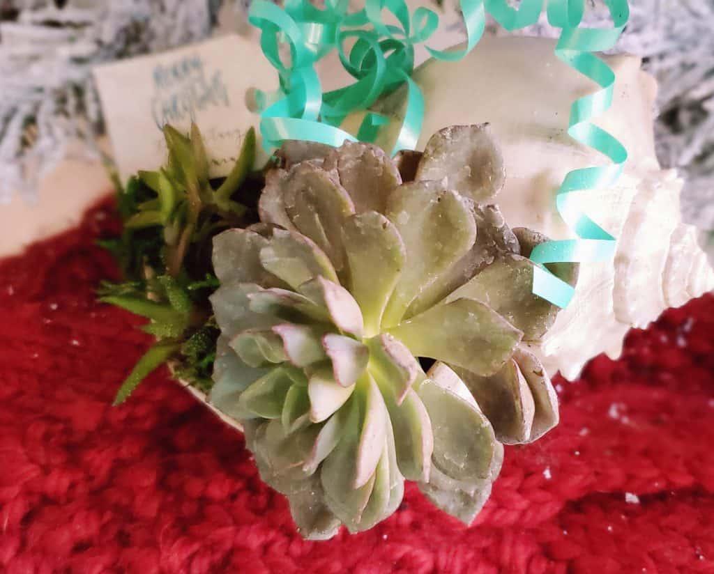 Christmas Succulent Planters.Succulent In Seashell Sand Dollar Lane