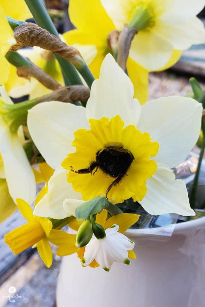 bumblebee in daffodil